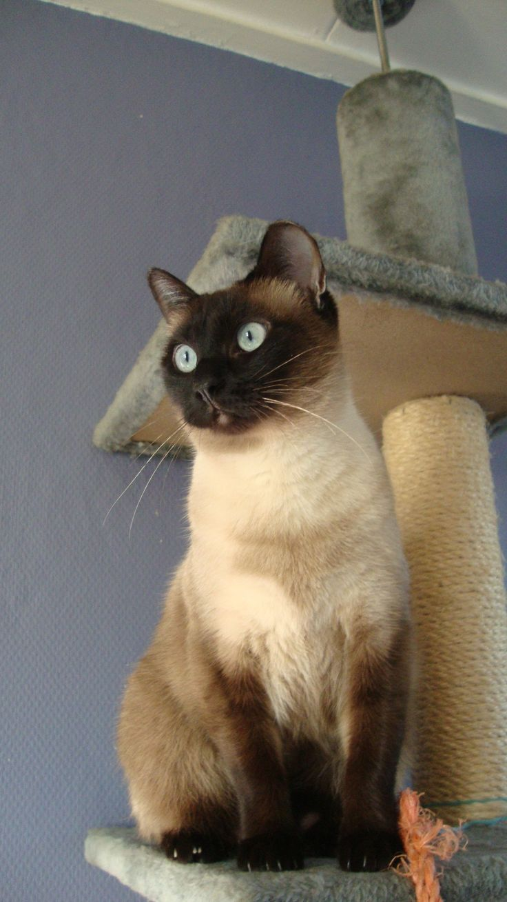 90 best Apple Head Siamese Cats images on Pinterest