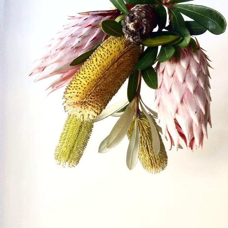 King Protea Banksia integrifolia