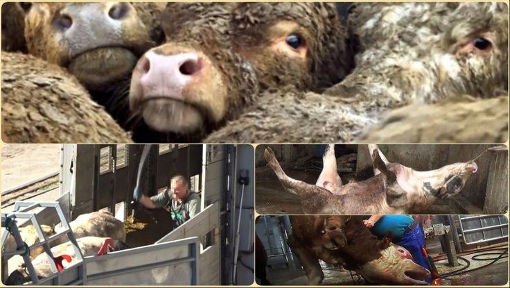 Βάναυση συμπεριφορά στο εμπόριο ζώων της ΕΕ