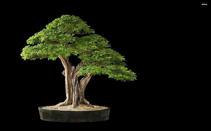 Green Bonsai Plant Studio Shot Bonsai Tree Black Background Hd Wallpaper In 2020 Bonsai Tree Bonsai Plants Bonsai