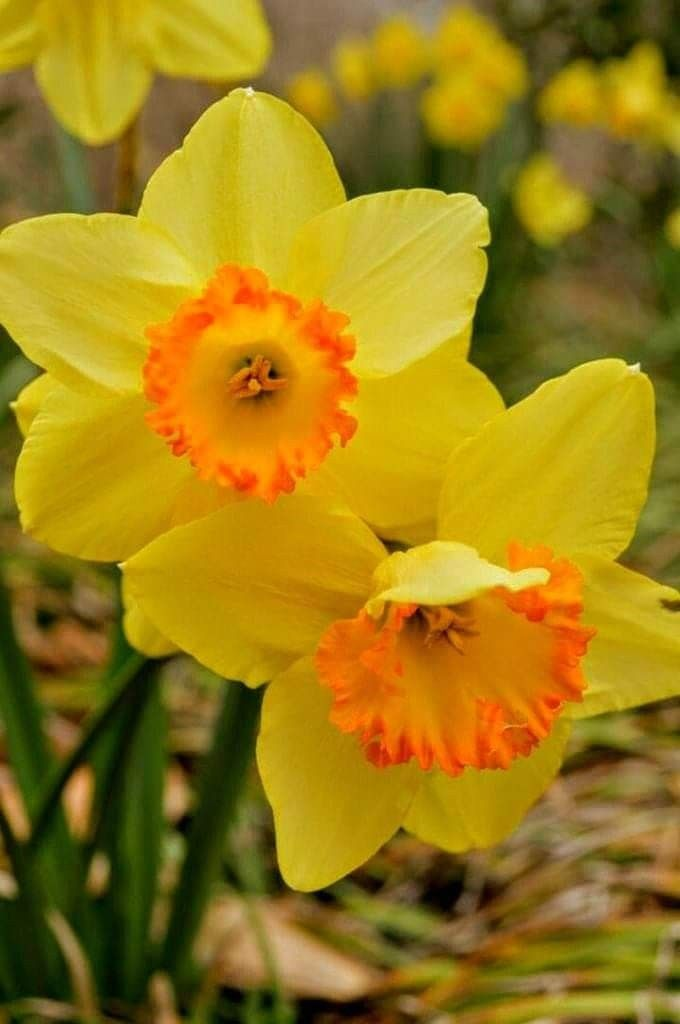 Learning About Daffodils Parts Of A Flower Daffodils Plant Science