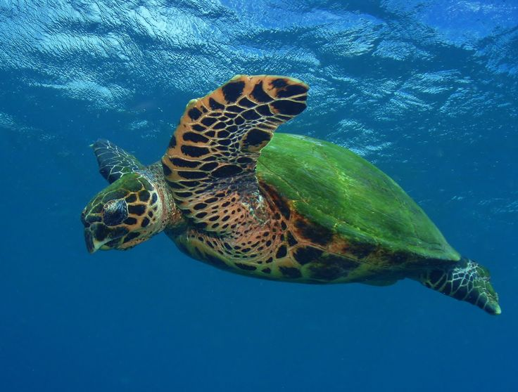 Scientists discover their first biofluorescent reptile – the hawksbill sea turtle