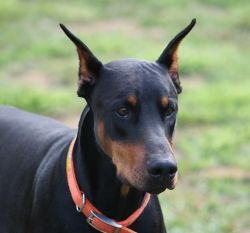 Michigan - AKC Registered Doberman puppies for sale - Baptist Ridge Dobermans