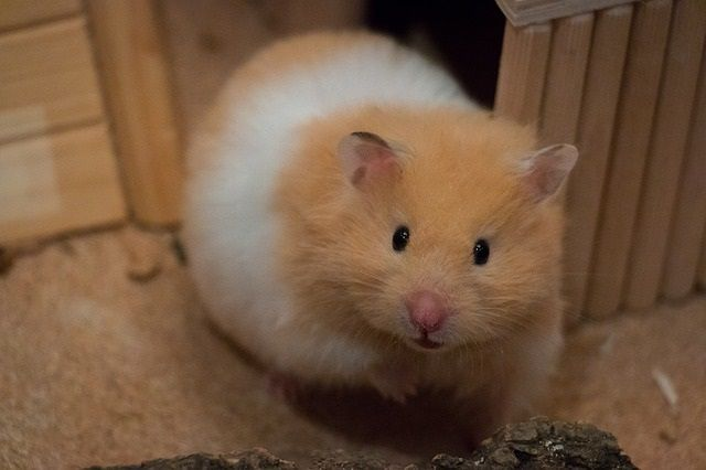 Do Mice And Hamsters Get Along Hamster Breeds Pet Mice Hamster