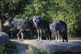 Loups, Animaux, Monde Animal, Hurlement