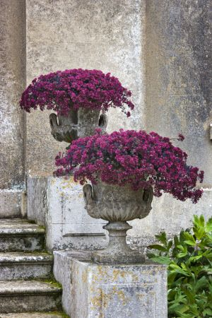 "Sedum ""Vera Jameson"" in ornamental urns at the front of the house at Ickworth, Suffolk."