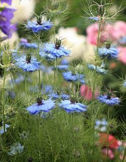 Country garden...love the blue flowers