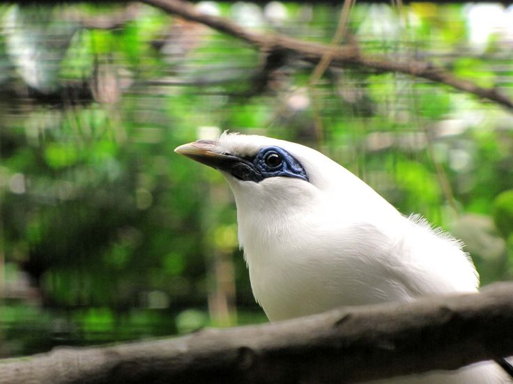 Bali Mynah, known as Starling Bird, considered as IUCN red list. Bali Safari & Marine Park, one day in 2010