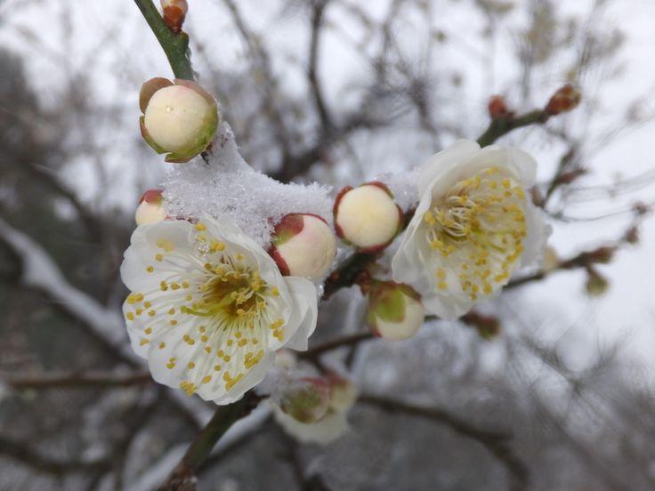雪と梅(その13)