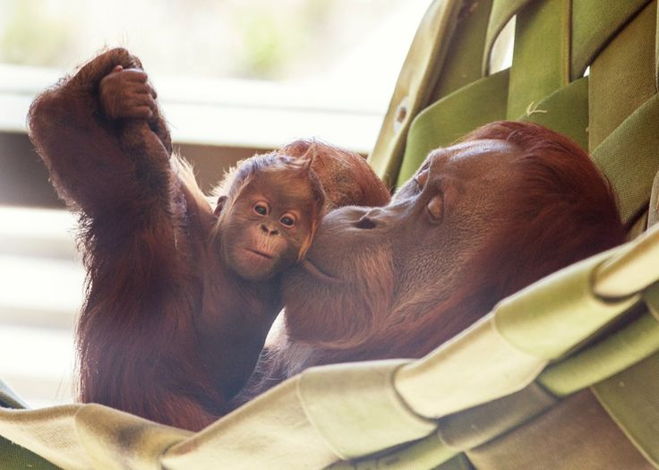 The Indianapolis Zoo excitedly announced the first Orangutan birth for the Simon Skjodt International Orangutan Center. The female Sumatran Orangutan, named Mila, was born March 23 to mom Sirih. More at ZooBorns! http://www.zooborns.com/zooborns/2016/05/new-little-dear-for-the-indianapolis-zoo.html