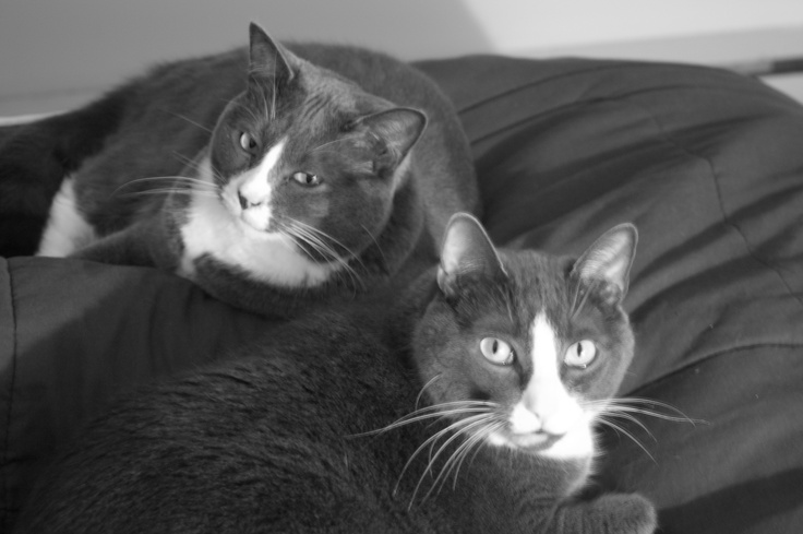 Grey and White Cats in Black and White
