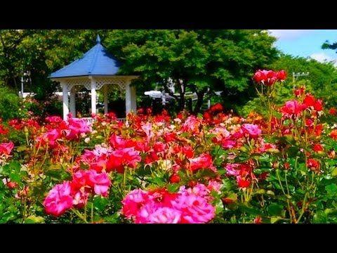 [HD]Rose garden 横浜のバラの名所(港の見える丘公園、山下公園、他)