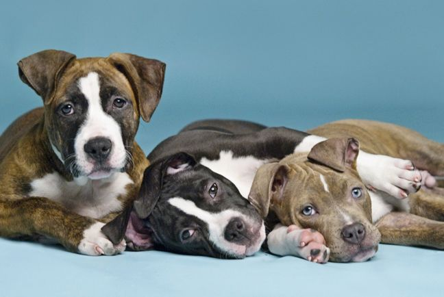 AVSAB Position Statement on BSL | Victoria Stilwell Positively  BSL doesnt work!