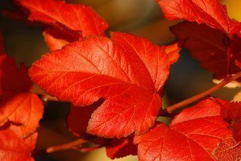 The Top 10 Fall Foliage Shrubs   /   ts