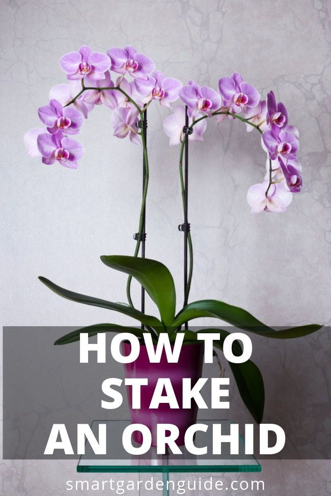 How To Stake An Orchid Learn How To Care For A New Orchid Spike To Make Sure The Blooms Are Spectacul Orchid Plant Care Cymbidium Orchids Care Growing Orchids