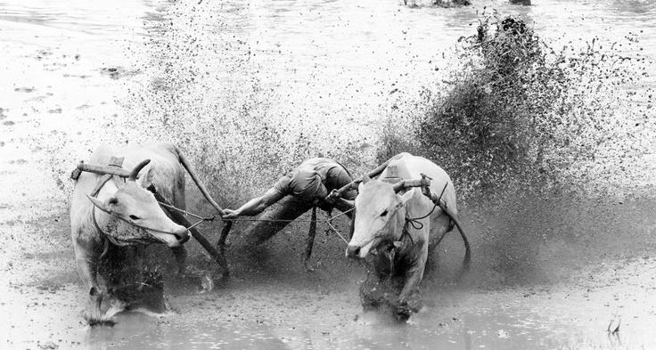 Cow Race or Pacu Jawi. Race in mud after harvest season in Batusangkar, West Sumatra