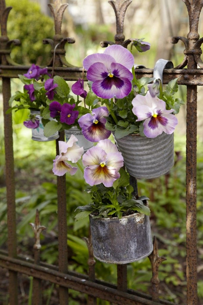 little pots of Violas hanging on the garden gate