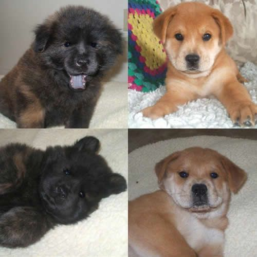 Chow Lab Mix. We have one. She is adorbz (She looks kind of like the one in the top right corner).