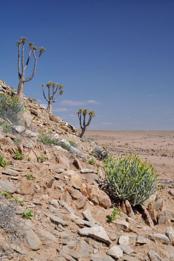 Spectacular Aloe pillansii specimens populating an hill in the Richtersveld desert.