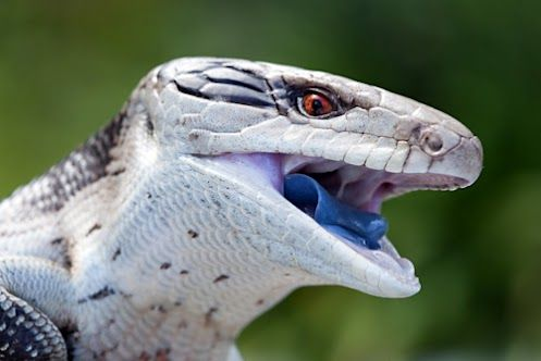 Blue-tongued lizards, or skinks, have vivid cobalt-colored tongues. Native only to Australia, they're docile creatures that are often kept as pets. They're also the world's largest urban-dwelling wild lizards, and can grow as long as two feet!