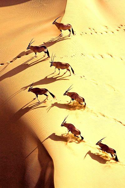 Voyages, trade marketing, séminaire, incentive, jeux-concours. Ailleurs Communication www.ailleurscommunication.fr Gemsbok herd in the dunes of Namibia, www.versionvoyages.fr - Version Voyages