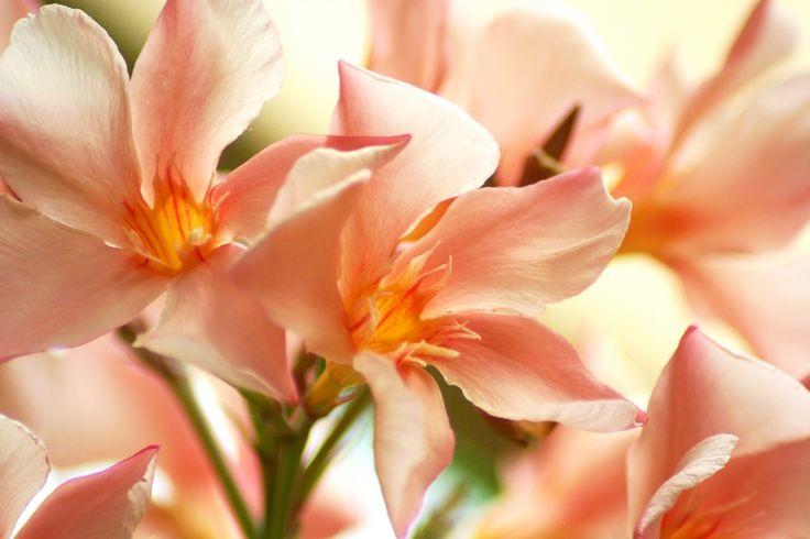 Witte oleander  betekenis: rust in het denken