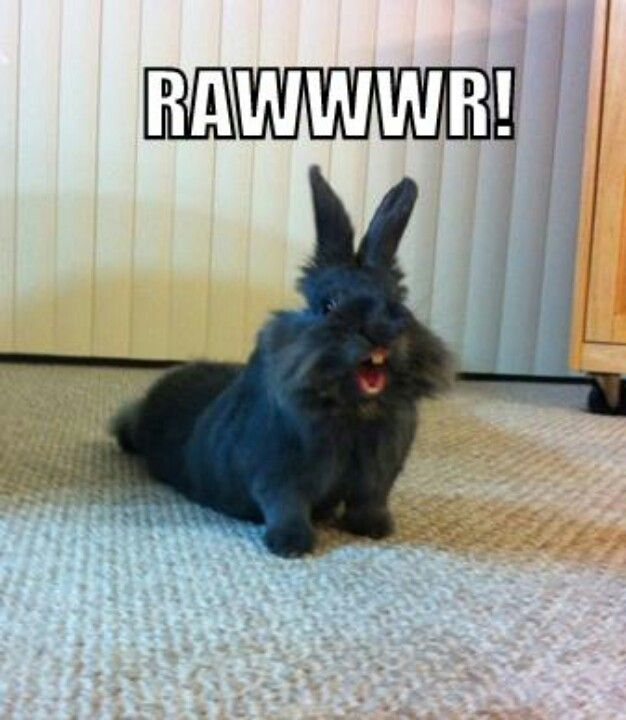Tiny and ferocious, this lionhead rabbit yawns- er, ROARS at its opponent.