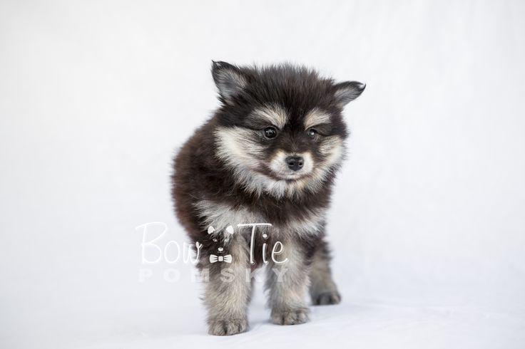 Bowtie Pomsky Adoption