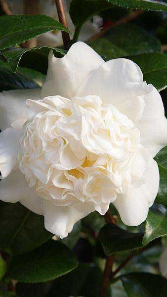 Camellia Japonica Snow Ball - White double Camellia flowers, evergreen and for sale online UK