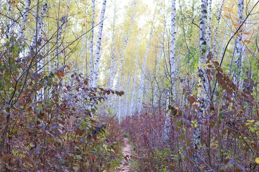 Birch Grove. Russia. #birch #grove #forest #autumn #nature #beauty #freelancer #freelancediscount #freelancecreative