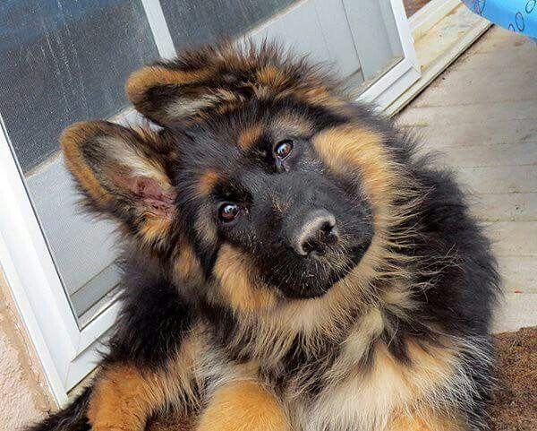 Cachorro de pelo largo                                                                                                                                                     Más