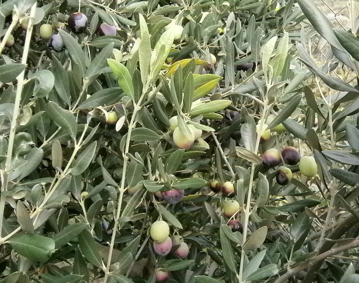 When green olives turn dark in mid-November it is harvest time.