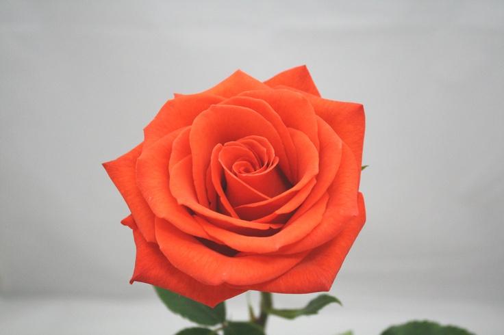 8 best images about orange coral roses on pinterest. Black Bedroom Furniture Sets. Home Design Ideas