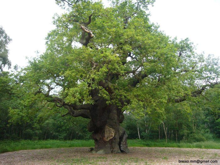 The Major Oak of Sherwood Forest, Nottinghamshire, England Estimated Age 1,000 years