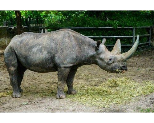 Postcard Rhino
