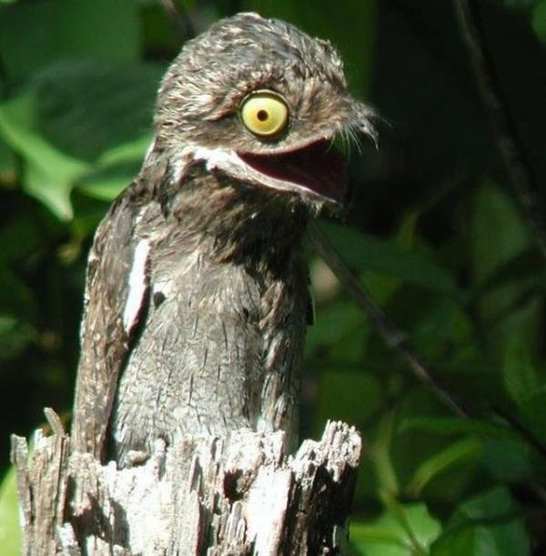 The Potoo bird from South and Central America. It looks like a