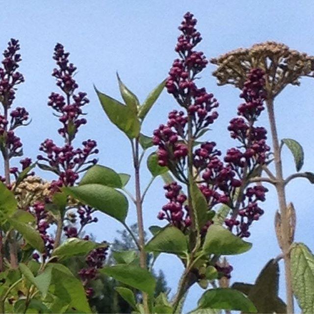 #mindfulness#achtsamkeit#spring#frühling#lilac#flieder#gardening#garten#natur#nature#naturelovers#landliebe#landlust#bauerngarten#gartenglück#gartenliebe#wachstum##growth#flowers#blumen#floral#structure#life#leben#buf#blütenknospen#strauch#brush