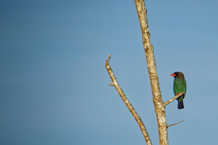 Tombolog d aki • • • ��Labuan Island • • #birdphotography #birds #birdofparadise #travel #traveller #travelphotography #animalkingdom #animals #branches #green #black #red #blue #potd http://tipsrazzi.com/ipost/1521739544264010896/?code=BUeTg2QhWyQ