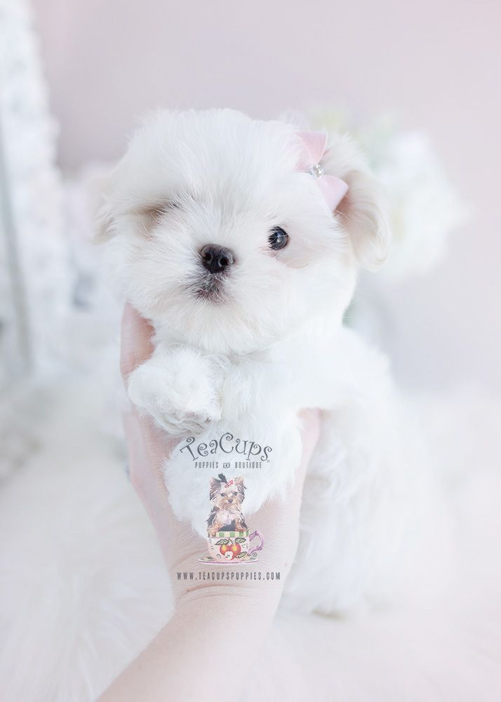 Shih Tzu Puppies Teacups Puppies Boutique Teacup Puppies