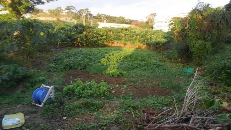 朝焼けな池間解体、裏の畑。