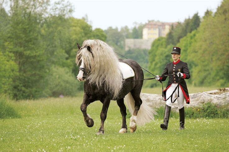 Pferde kaltblüter schwarzwälder