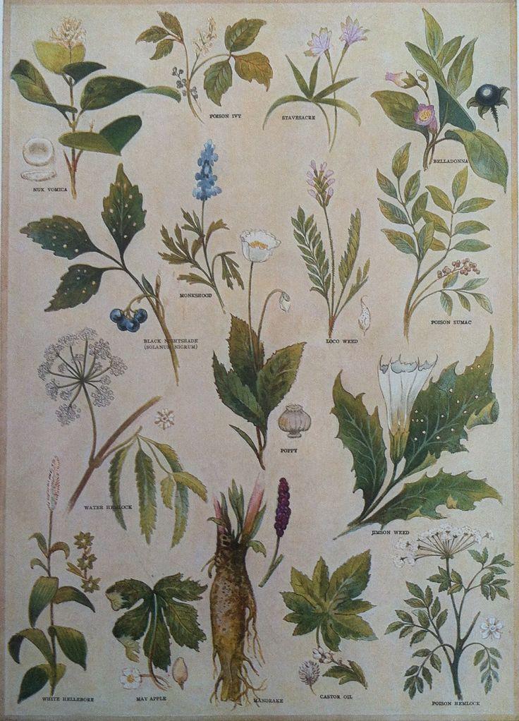 Poisonous Plants:  #Poisonous #Plants Illustration - book plate - 1930s.