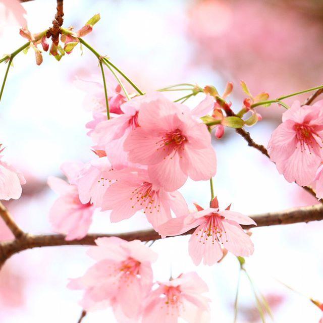 . 【さくら🌸💕】 . はっしーが送って来てくれた💓 . . ほんとカメラやってる人って 全然、撮る視点が違いすぎて びっくり!!! . . ほんと綺麗だな💖 . . . 人を撮っても 自然に笑ってるところとか 撮るから素敵だよね😊🍀 . . 春ですね🌸 草花が芽を出して成長していく . . そして 出会いと別れの季節🙈 . どんな人に出会って そして別れもある 新しい環境になると 新しい自分になれる季節 悲しかったり嬉しかったり♫ 待つ季節ではなく追いかける季節へ . . みんな一緒でみんな違う(*´꒳`*)ふふん . . 人間って面白いな♪ . . . . #カメラマン #一眼レフ  #写真 #素敵 #pic #桜 #春  #橋本さん #すごい  #きれい #カメラマンさんと繋がりたい  #ピンク #すき  #セルフネイル #ピンク #ネイル  #おしゃれ #可愛い #人生楽しんだもん勝ち  #生き方 #こんこん  #同じ時間はない  #後悔のない人生  #かっこいい #instagram  #楽しい方が好き #yolo #心のdiary