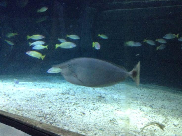 Rhino fish look so cool