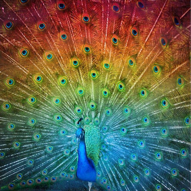 rainbow peacock   Rainbow Peacock   Flickr - Photo Sharing!   art   Pinterest   Peacocks, Photos ...