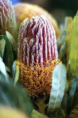 """Banksia Flower, from Australia. Hailing from the land down-under, this Australian flower has a huge cone-like flower measuring the size of a man's hand from the wrist up to the tips of the fingers. (About 7 inches!) With sharp narrow leaves that are up to 11"""" long. Colors are mainly orange, red, yellow."""