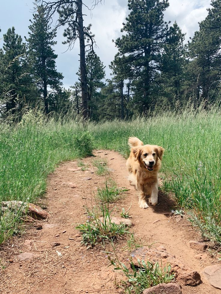 Golden Retriever Puppy Exploring The Great Outdoors Of Boulder