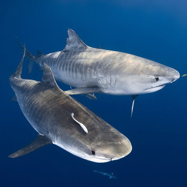 Photo by @daviddoubilet Twin tiger sharks ignore me as they swim past on their way to feed on a dead sperm whale floating on the #GreatBarrierReef near Cairns #Australia.