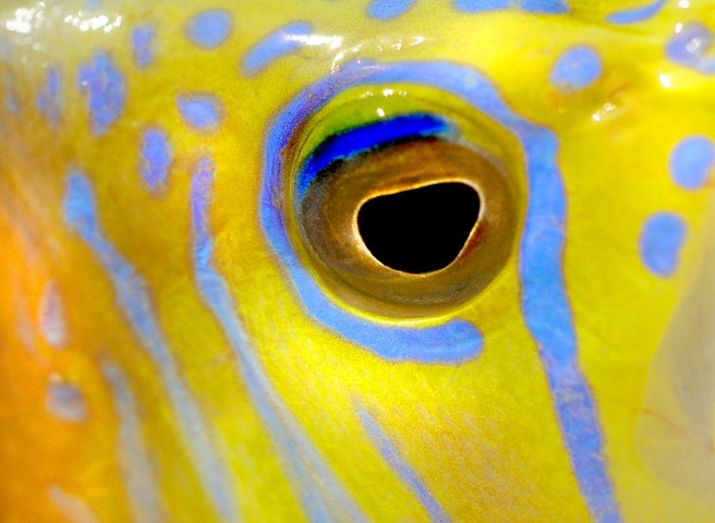 Fish eye tropical fish photography pinterest eyes for Fish eye skin