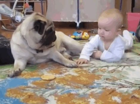 The baby starts off strong, cleverly trying to make friends with the pug in order to lull him into a false sense of complacency. | Pug Vs. Baby: The Ultimate Battle